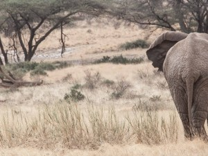 A Samburu Elephant