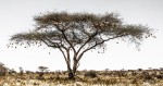 Weaver Bird Nests in an Acacia Tree