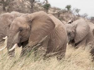 Elephants in the Long Grass