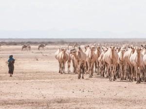 Camels near Turbi