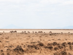 Camels on the Dida Galgalu Plains