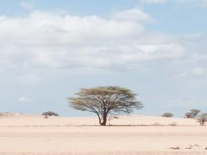 Acacia Tree in the Chalbi Desert