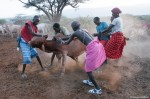 An Evening of Cattle Branding with the Laikipiak Maasai