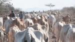 Skin and Bone Cows in Northern Kenya